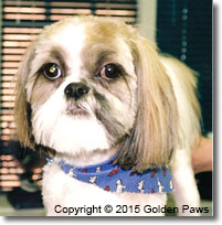 boarding kennels - shih tzu - Golden Paws